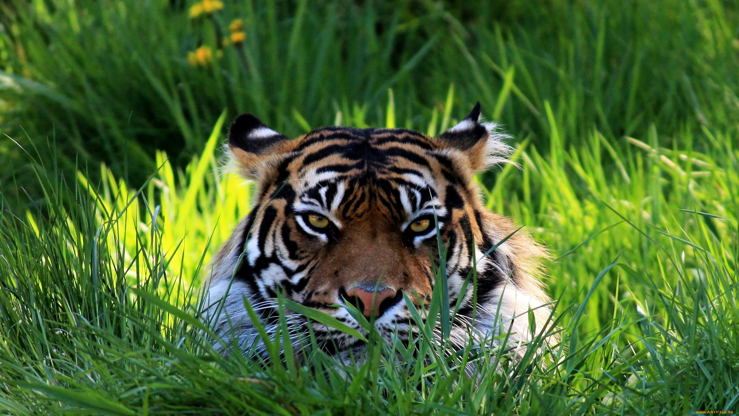 решила картинки тигры фото для рабочего стола было